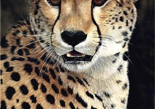cheetahstudy